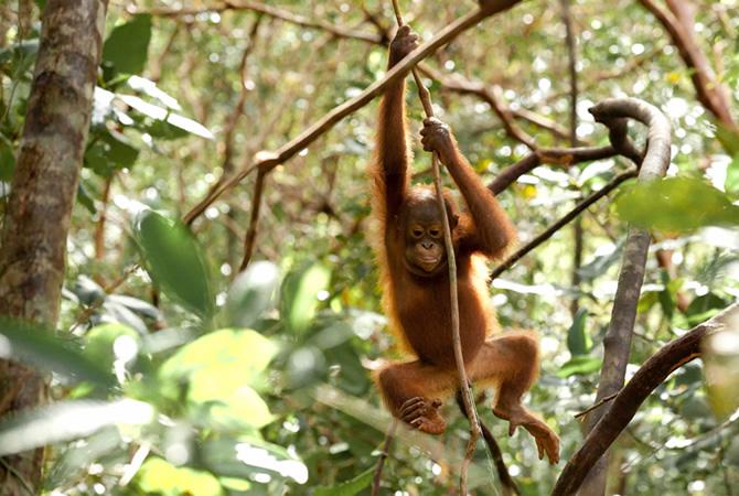 save forest the orangutan project
