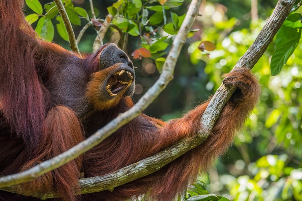 Orangutan Freedom Fund