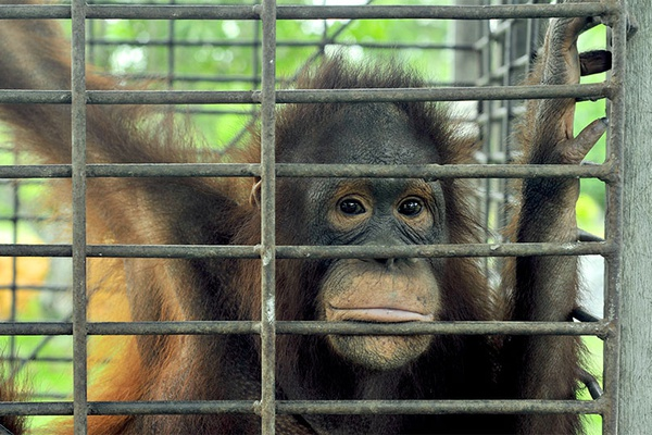 Help us provide safety for orangutans!