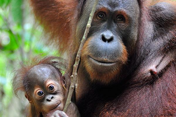 Protect Bukit Tigapuluh Habitat The Orangutan Project