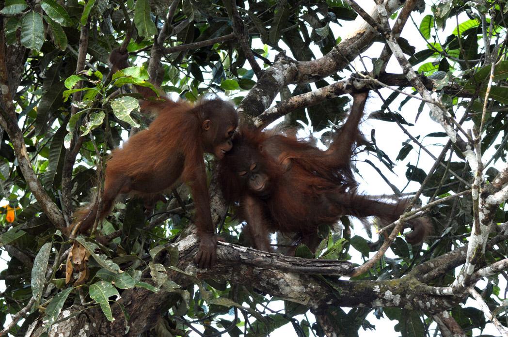 rasak projects projects camp rasak orangutan release site lamandau