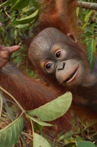 Orangutan Facts - The Orangutan Project